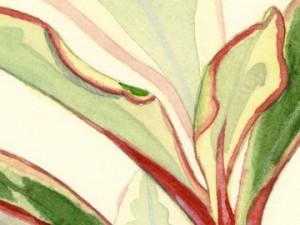 Tricolor Peperomia